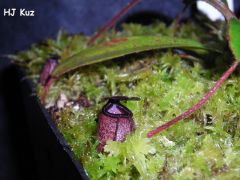 Nepenthes argentii