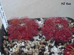 Drosera tomentosa var. glabrata