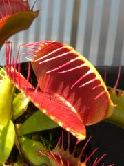 Random Venus Fly Trap taken by my 14 year old Daughter