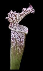 Sarracenia Leucophylla  Tarnock L11