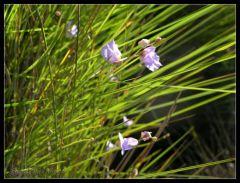 Utricularia tricolor