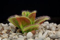 Drosera squamosa 1