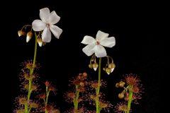 Drosera platypoda Two flowers