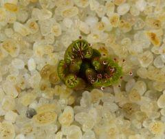 Drosera bulbosa ssp. bulbosa 10.10.13