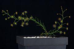 Drosera prophylla DPPH1