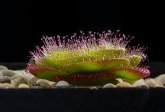 Drosera zoneria Von Der Seite