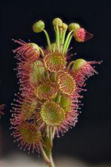 Drosera basifolia DBAS1 1