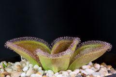 Drosera magna