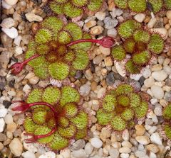 Drosera lowriei Holt with seeds