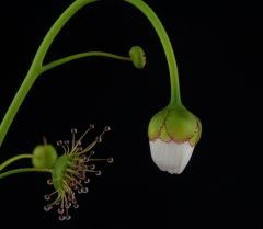Drosera heterophylla closed flower DHET1
