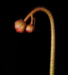 Drosera pauciflora flower stalk