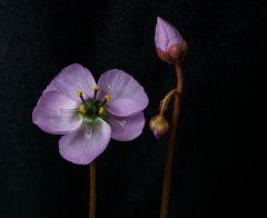 Drosera pauciflora Stellenbosch 2 Flowers