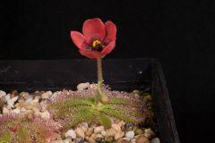 Drosera coccipetala flower 1