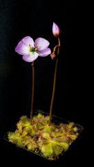 Drosera pauciflora Stellenbosch with flowers