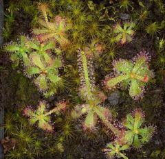 Drosera alba leaf cutting 800px