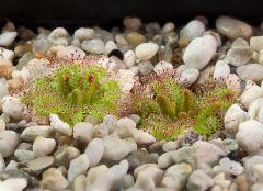 Drosera cistiflora awakening