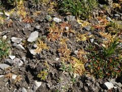 Pinguicula alpina