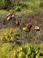 Sarracenia purpurea in Germany