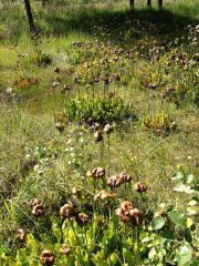 Sarracenia purpurea in Germany