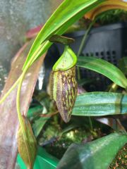 N. ceciliae pitcher on cutting