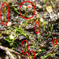 CPUK_U_simmonsii_091005_01_marked2.jpg
