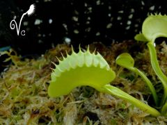 Dionaea of Vegetalement Carnivore