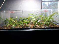 Ventrata cuttings Day 42
