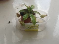 My pitcher plant