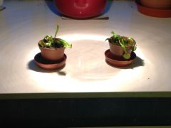 My venus fly traps