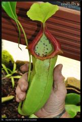 spathulata x ventricosa 03.07.16