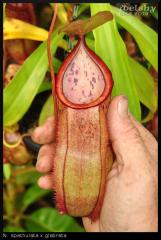 spathulata x glabrata 03.07.16