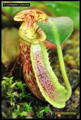 Welshy's Nepenthes