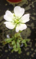VFT in flower