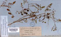 Solanum Beagle C