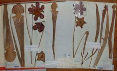 S leucophylla C