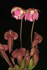 Sarracenia roseixflava WaltonCty0001p
