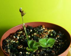 Drosera erythrorhiza imbecila with A keikiP1570853