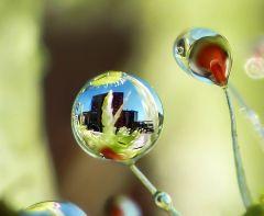Drosera prolifera, reflejo
