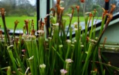 Sarracenia at Kew