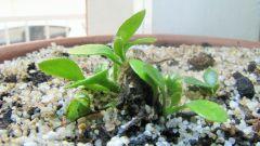 Cephalotus follicularis HG