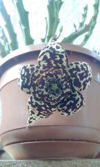 Orbea variegata 2