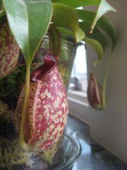 Hookeriana pitcher