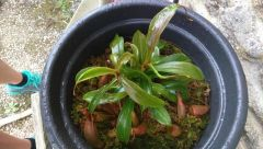 Nepenthes 2/a