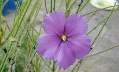gigantea perth flower