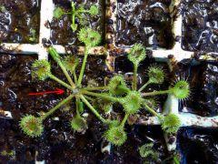 Drosera rotundifolia help - root rot?