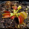 Dionaea microdent (2).jpg