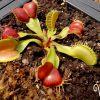 Dionaea Galaxy