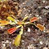Dionaea wacky trap (3).jpg