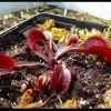 Dionaea REdShark Teeth400.jpg