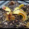 Dionaea Jawsmiley